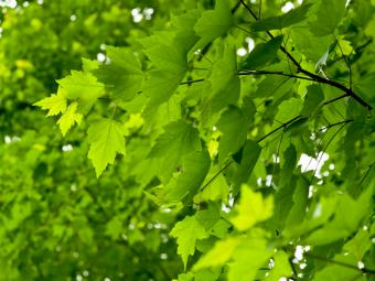 https://cf.ltkcdn.net/garden/images/slide/112235-800x600-Green-Maple.jpg