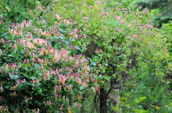 https://cf.ltkcdn.net/garden/images/slide/112268-850x563-Honeysuckle_Bush.jpg
