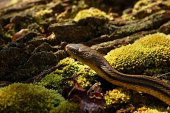 https://cf.ltkcdn.net/garden/images/slide/112282-850x565-Yellow_Rat_Snake.jpg