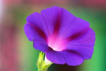 https://cf.ltkcdn.net/garden/images/slide/112287-847x567-morningglory1.jpg