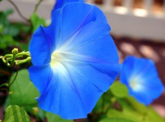 https://cf.ltkcdn.net/garden/images/slide/112292-805x596-morningglory2.jpg