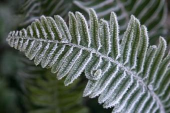 Winterizing Ferns