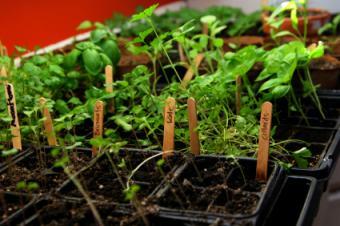 seedlings in plant trays