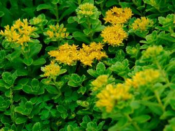 https://cf.ltkcdn.net/garden/images/slide/136547-800x600r1-yellowsedum2.jpg
