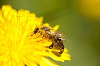 https://cf.ltkcdn.net/garden/images/slide/140482-849x565r1-Honey-Bee.jpg