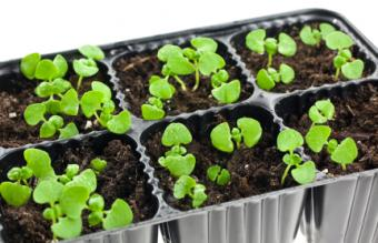 Transplant seedlings from a basil seedling tray