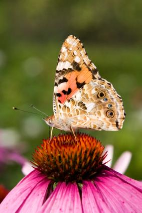 Painted Lady on an Echinacea