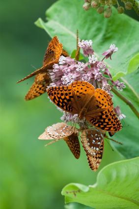 Great Spangled Fritillary Butterflies on Milkweed