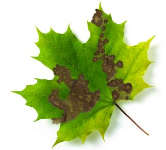 Maple leaf with phyllosticta