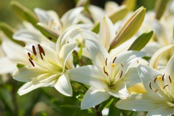 Lilies in garden