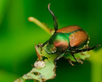 https://cf.ltkcdn.net/garden/images/slide/149774-775x619-Japanese-beetle-eating-a-plant.jpg