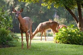 https://cf.ltkcdn.net/garden/images/slide/149779-850x563-Deer-grazing-in-the-garden.jpg