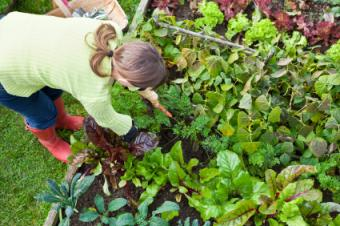 pulling carrots in vegetable garden