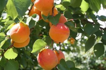 peach tree branches