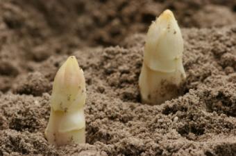 white asparagus in soil