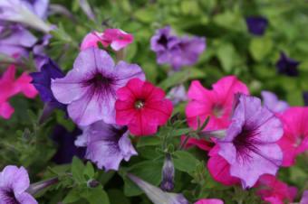 Pink and purple petunias