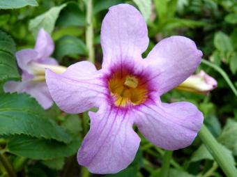Perennial Trumpet Flowers
