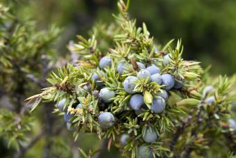 https://cf.ltkcdn.net/garden/images/slide/166491-850x567-juniperberries.jpg