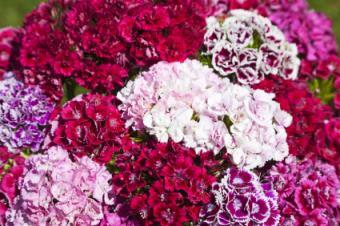blooming pinks