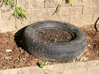 Growing potatoes in tire