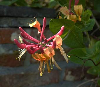 Lonicera heckrottii, 'Gold Flame' honeysuckle