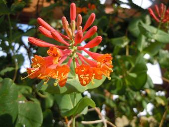 Dropmore Scarlet honeysuckle