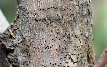 Ash bark beetle damage
