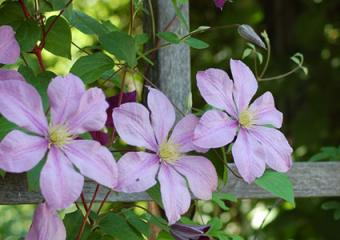 blooming clematis