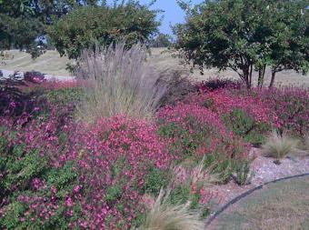 https://cf.ltkcdn.net/garden/images/slide/174998-700x520-Salvia-greggii-with-muhly-grass-new.jpg