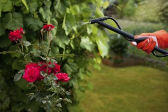 bug spraying roses