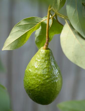 avocado hanging from a tree
