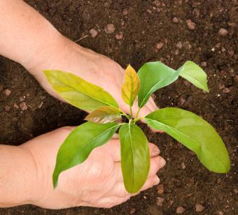 planting an avocado