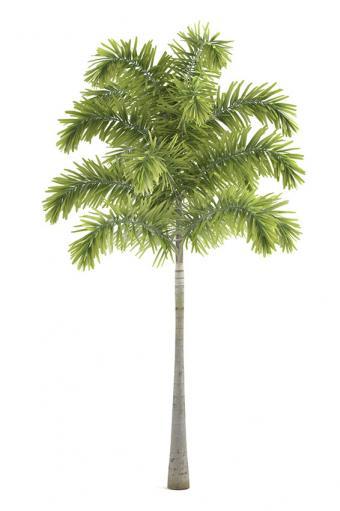 https://cf.ltkcdn.net/garden/images/slide/175479-566x850-wodyetia-bifurcata.jpg