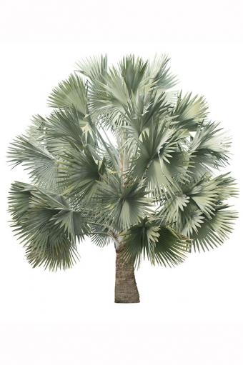 https://cf.ltkcdn.net/garden/images/slide/175482-566x850-Silver-Fan-Palm.jpg