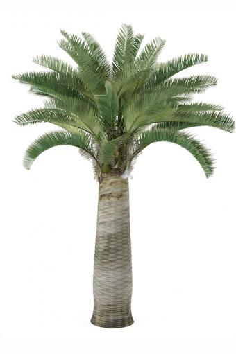 https://cf.ltkcdn.net/garden/images/slide/175486-566x850-jubaea-chilensis.jpg