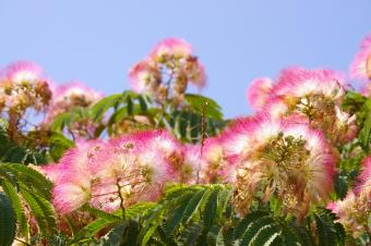 mimosa flowers and foliage