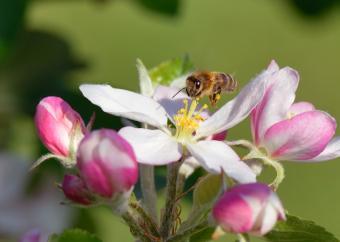 https://cf.ltkcdn.net/garden/images/slide/175678-822x584-pollination-apple-blossoms.jpg