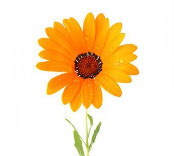 Cape Marigold (Dimorphotheca)