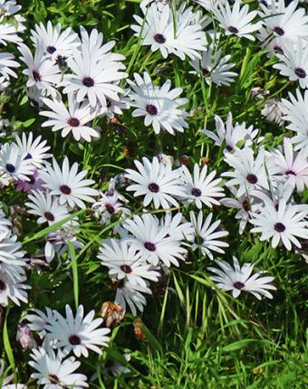 Planting of Cape Marigolds