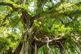 https://cf.ltkcdn.net/garden/images/slide/176021-849x565-unusual-plant--banyan.jpg