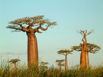 https://cf.ltkcdn.net/garden/images/slide/176026-800x600-unusual-plant-baobab.jpg