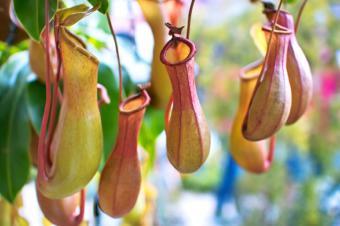 https://cf.ltkcdn.net/garden/images/slide/176028-849x565-unusual-plant-pitcher.jpg