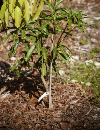 Grafting Fruit Trees Step by Step