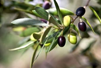 green and black olives on tree