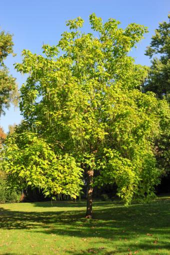 mature catalpa tree