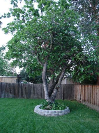 Fig Tree in Landscaping