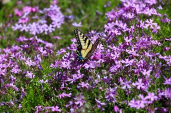 phlox with butterfly