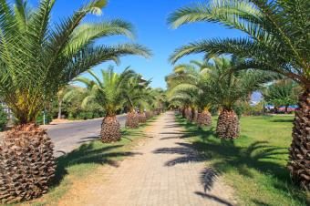 palm allee along path