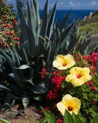 Yellow Hibiscus in Coastal Landscape