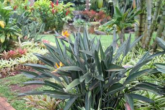 Orange Bird of Paradise Plant